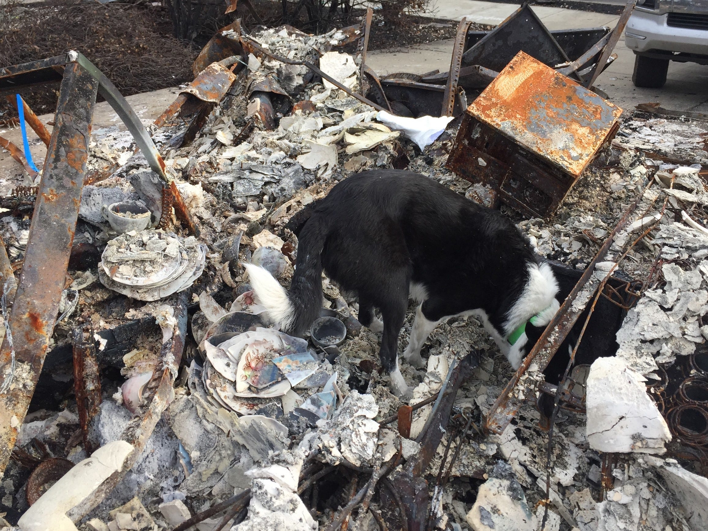 "Forensic search dog ""Piper"" searches a burned building for human cremains."