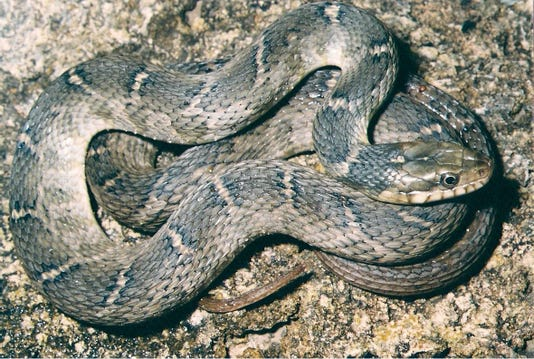 Don't believe everything you hear about the Blotched Watersnake