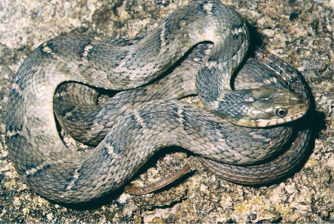 The Blotched Watersnake is rather drab in coloration and pattern, at least as an adult.
