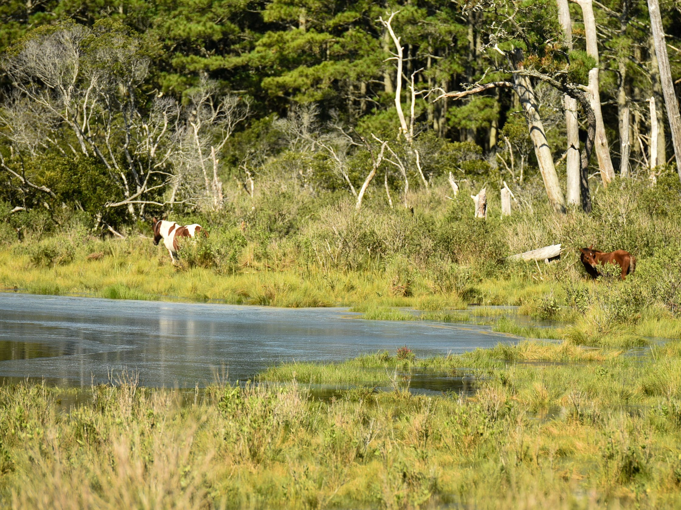 Chincoteague ponies grazed on Assateague Island on Tuesday, Sept. 11. The island is part of the state's zone A evacuation that was issued in advance of Hurricane Florence, but local officials have not asked residents to leave yet.