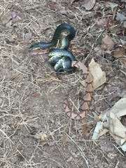 Park Ranger Bill Nash photographed this speckled kingsnake preparing to devour a copperhead at Wilson's Creek National Battlefield.