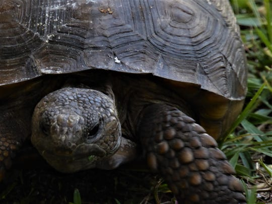 Donna Chandler found a gopher tortoise resting in Port St. Lucie.