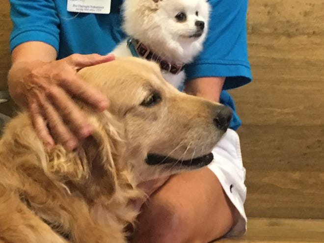 Pandora, a Pomeranian, and Costa, a golden retriever, were among the sick dogs who attended the Stuart City Commission meeting Sept. 10, 2018. Vet Christina Maldonado gave a presentation on her suspicions that the dogs were poisoned by toxic cyanobacteria, also known as blue-green algae, from the St. Lucie River.