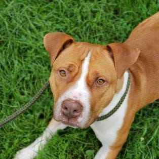 Olive: A young dog who's looking for a home | Marathon County Pet of the Week