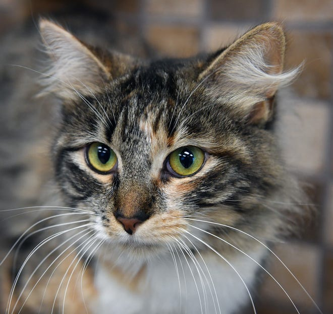 Christina is a 1-year-old, grey tabico, domestic long-haired cat. She is sweet and social and gets along with other cats. Christina is available for adoption at the Wichita Falls Animal Services Center.