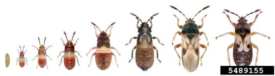 The hairy chinch bug's life stages, from left to right, are: egg, first instar, second instar, third instar, fourth instar, fifth instar, winged adult, and short-winged adult.