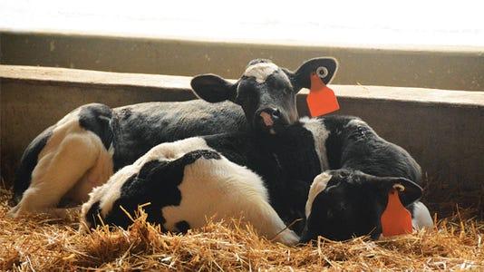 Dairy Calves Opperman