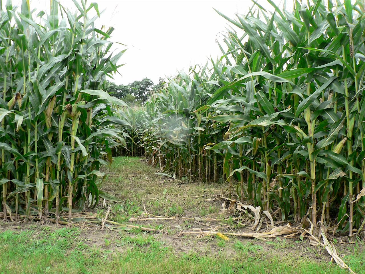 The corn is tall, you might get lost in the maze.