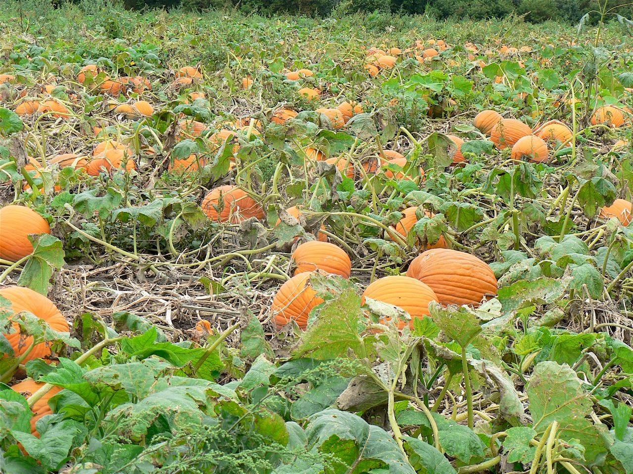 Pumpkins, lots of pumpkins in the patch.