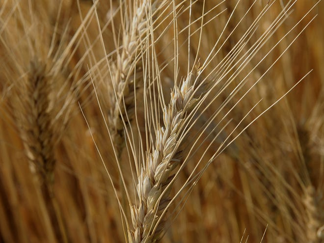 Kansas State University researchers are using gene editing to improve the resilience of wheat to drought, heat, pests and other risks.