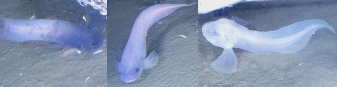 One of the new species of Atacama snailfish discovered in the Pacific Ocean.