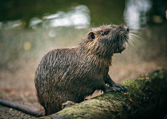 Rous5 Nutria Also Known As A Swamp Rat Is A Semi Aquatic Rodent Native To South America After Being Introduced To Louisiana Its Destructive Feeding Behaviors Have Made This Invasive Species A Scourge Of The