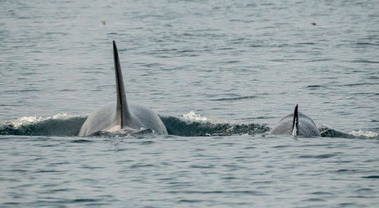 Scarlet, or J50, and her mother Slick, in an Aug. 18, 2018 photo. In September, a team of experts discussed the idea of capturing Scarlet and nursing her back to health, with the successful treatment of an orca named Springer as a model. Unlike Springer, however, Scarlet was not a lone whale.