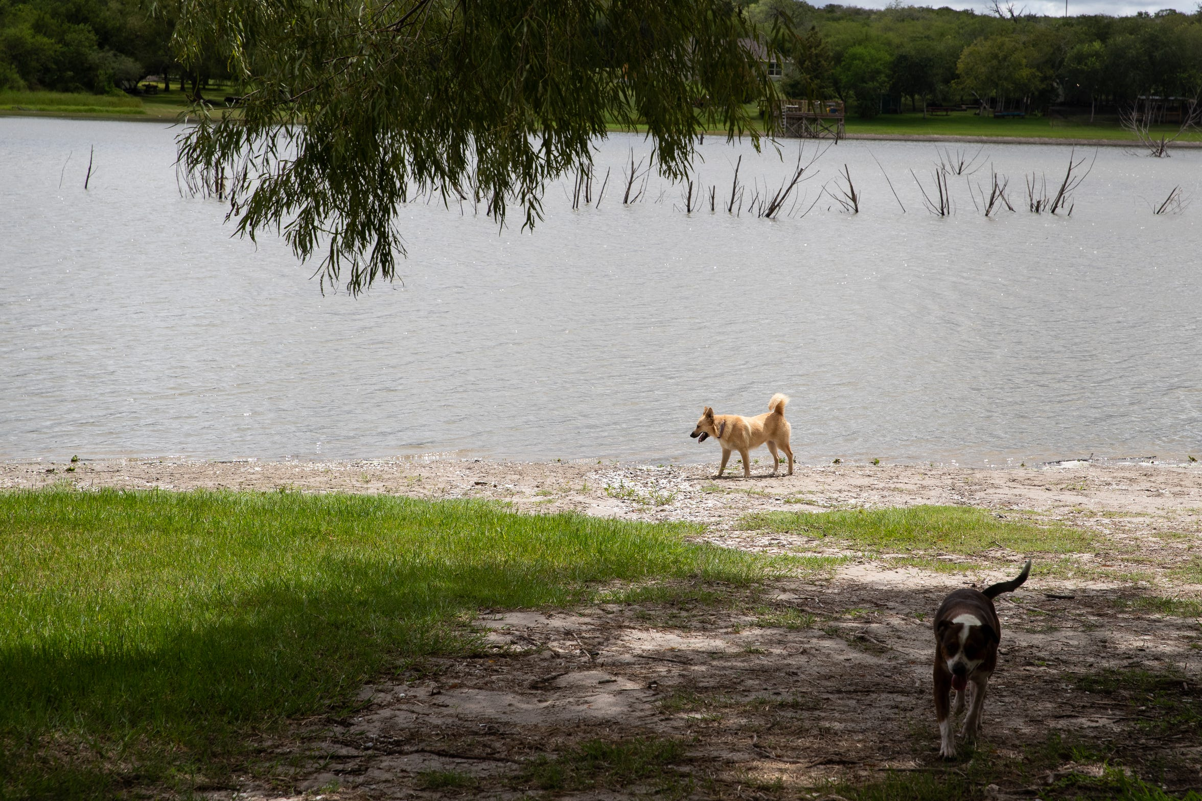 Lesley Jones' dogs run along Lake Corpus near her home in the Hideaway Hills Subdivision, north of Mathis on Wednesday, Sept. 12, 2018. In the last two years, more than 50 cats and dogs have died from what residents believe is poison in the subdivision.
