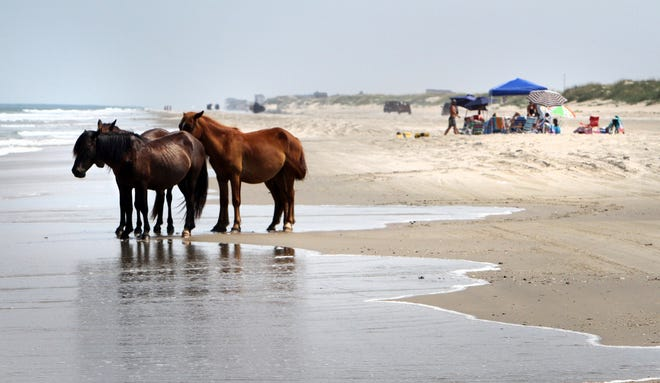 In this July 25, 2011, file photo, a group of wild horses cools off in the ocean breeze on the beach in Corolla, N.C.