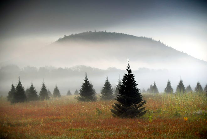 In this Sept. 27, 2017, file photo fog drifts through a Christmas tree farm near Starks Mountain in Fryeburg, Maine. Amazon plans to sell and ship fresh, full-size Christmas trees this year. They'll go on sale in November and be sent within 10 days of being cut. Amazon says they should survive the shipping fine.