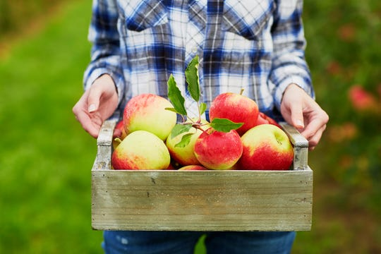 An outing for U-pick apples is a favorite autumn activity in southeast Michigan.