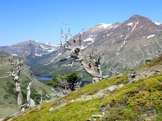Skeletonized stands of whitebark pine in the Two Medicine Valley.