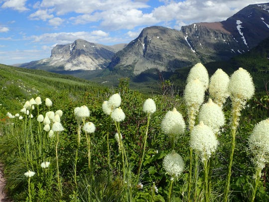 Beargrass, a member of the lily family, is an icon in Glacier National Park.