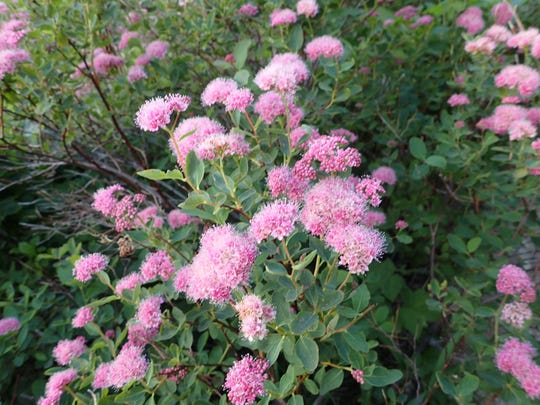 Rosy Spirea Is a hardy and beautiful shrub found throughout the park.