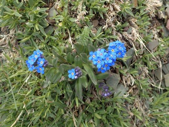 Alpine forget-me-nots growin a very fragile  landscape