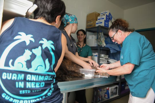Veterinarian Technician Amber Bongato, right, inserts an intravenous needle into the front leg of a dog at the Guam Animals In Need animal shelter in Yigo in this 2018 file photo.