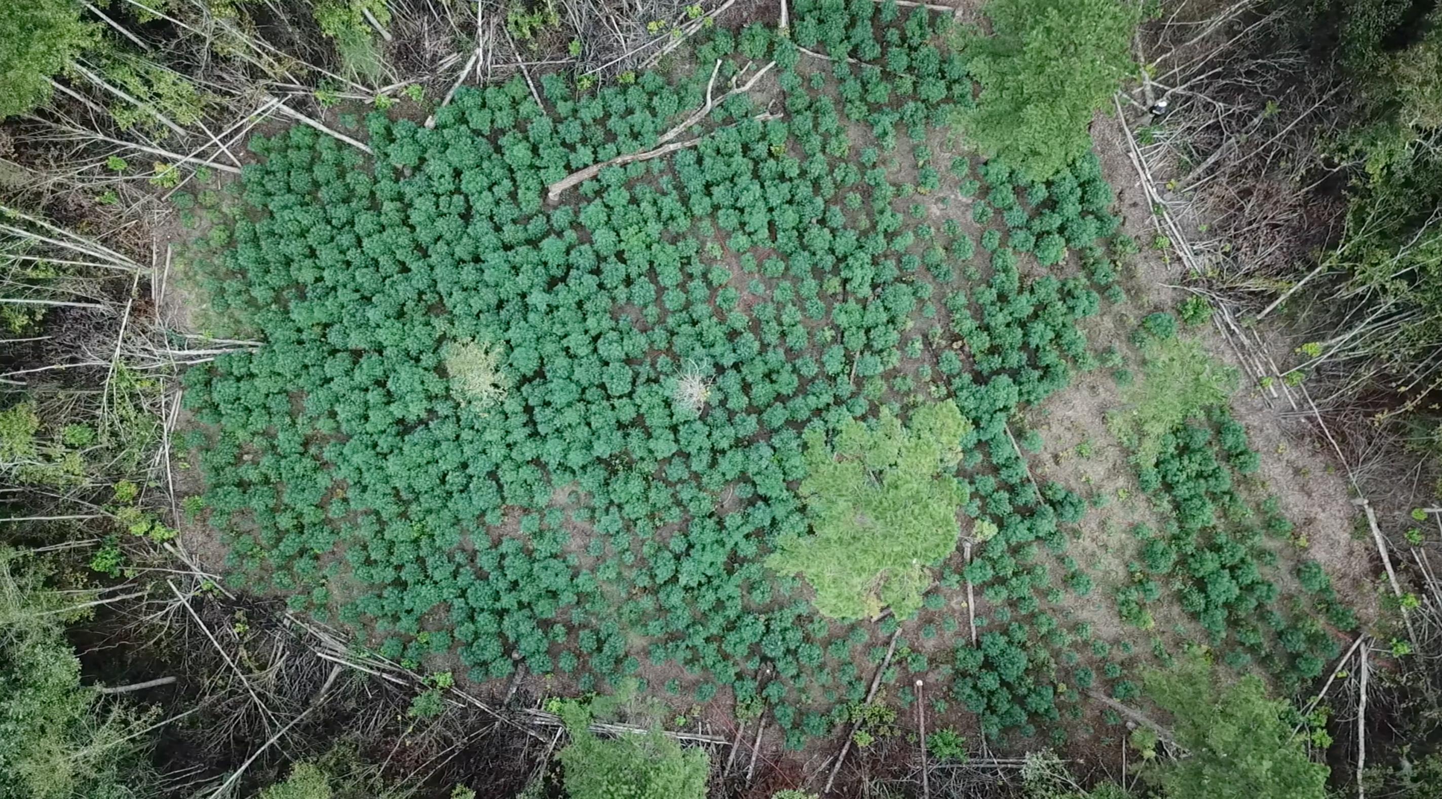 See drone footage of the $70M marijuana grow in Jeff Davis