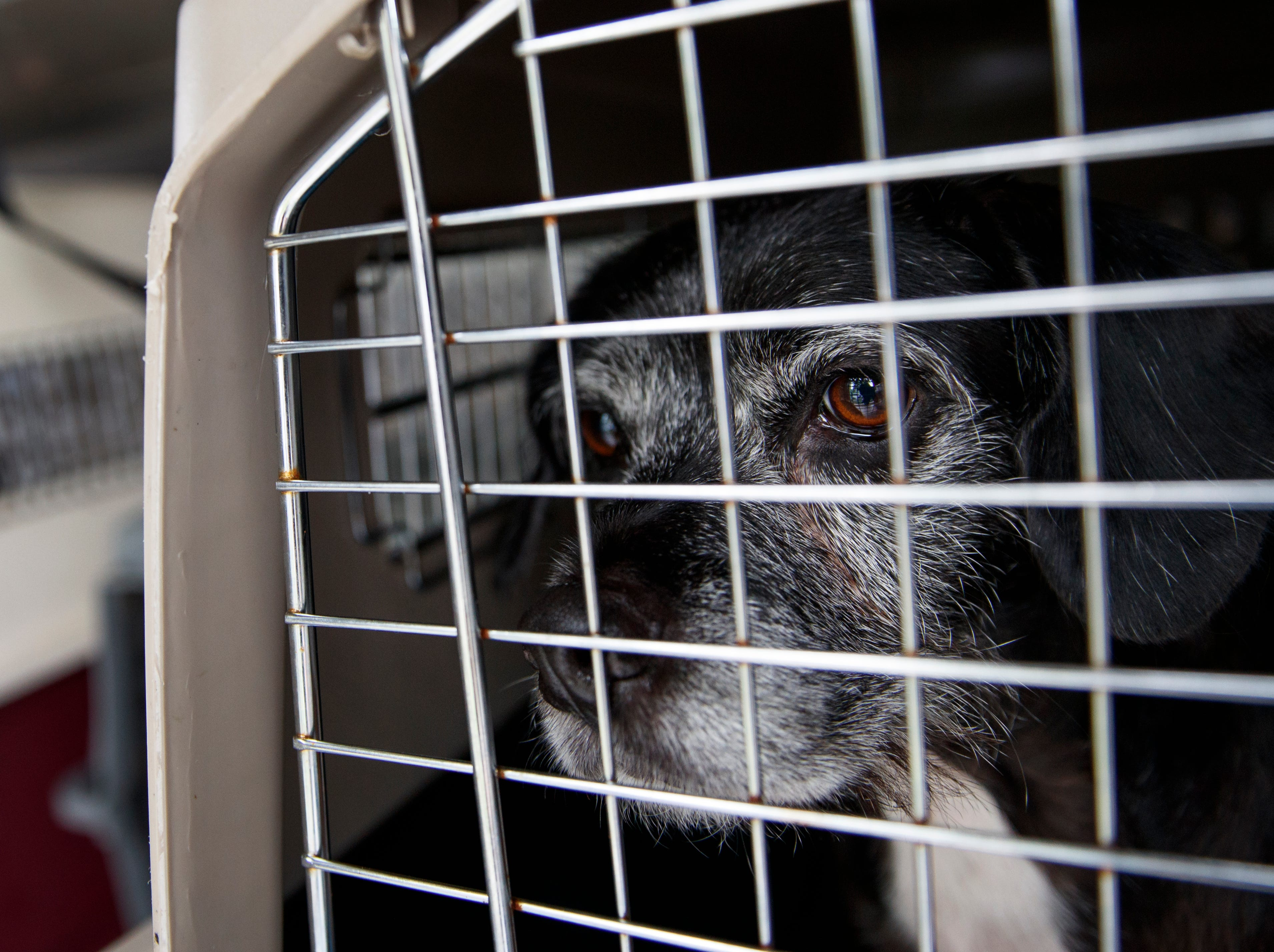 Punky, a 7-year old mixed breed dog, looks out from a crate as 26 cats and dogs arrive at Humane Rescue Alliance in Washington, Tuesday, Sept. 11, 2018, from Norfolk Animal Care and Control of Norfolk, Va., in advance of Hurricane Florence. People aren't the only ones evacuating to get out of the path of Hurricane Florence. The dogs and cats will all be available for adoption.