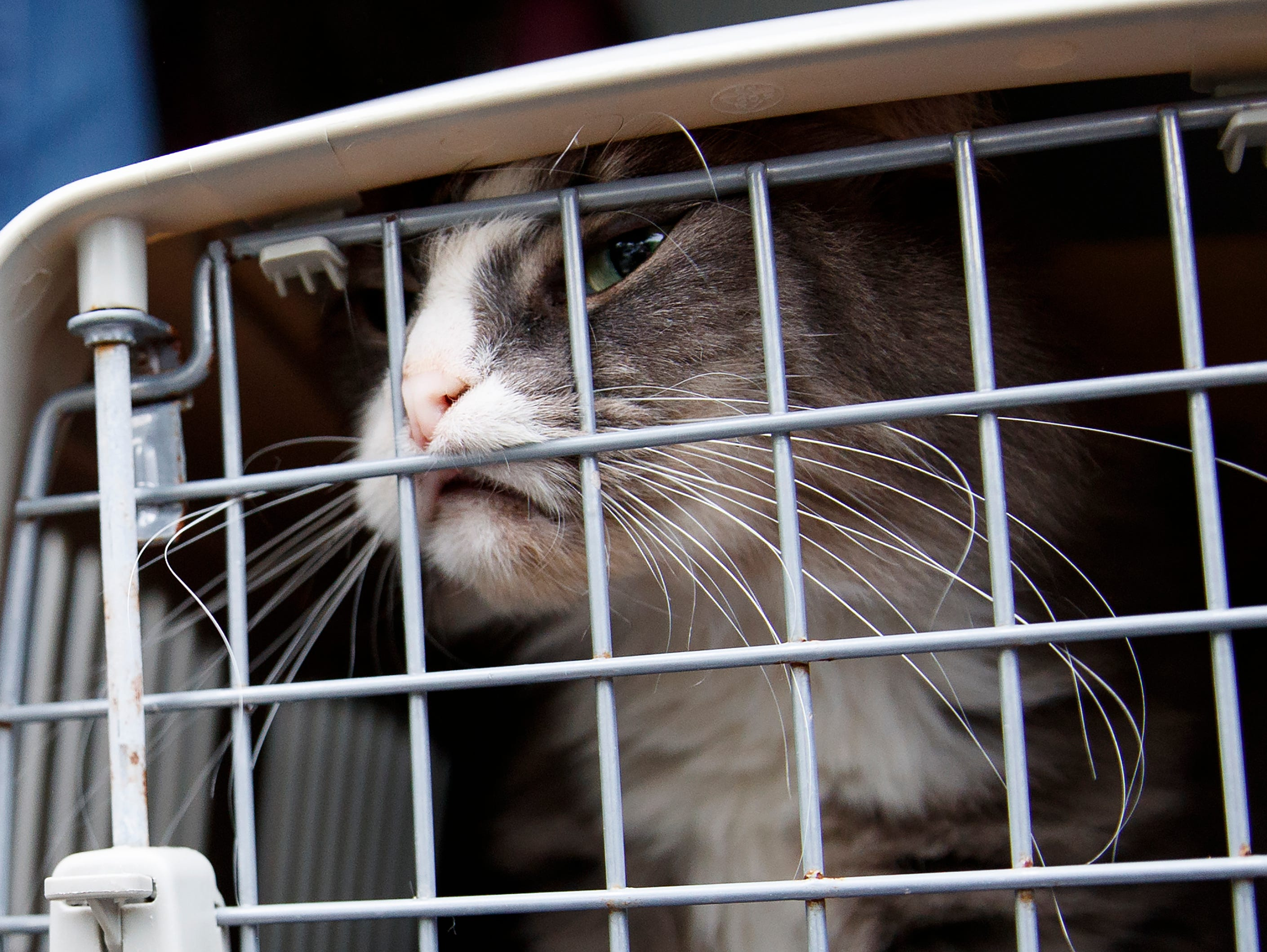 A long-haired tabby cat pushes against the crate door during the unloading of 26 cats and dogs from a van at Humane Rescue Alliance in Washington, Tuesday, Sept. 11, 2018, from Norfolk Animal Care and Control of Norfolk, Va., in advance of Hurricane Florence. People aren't the only ones evacuating to get out of the path of Hurricane Florence. The dogs and cats will all be available for adoption.