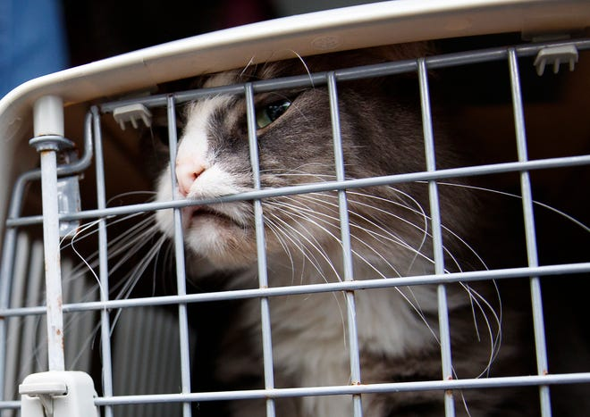 A rescued long-haired tabby cat pushes against its crate door.
