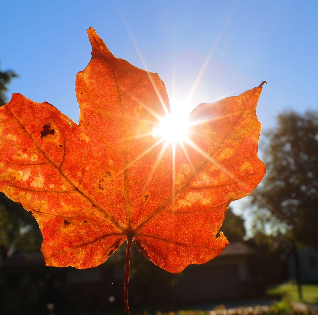 A fall colored leaf on Wednesday, September 12, 2018.  - leaves autumn trees -  Photo by Mike De Sisti / Milwaukee Journal Sentinel