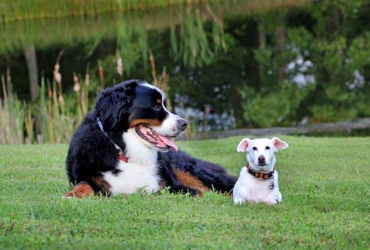 Theresa Tillinger's dog Shafer, left, and Harper, the tracking dog who helped find him.