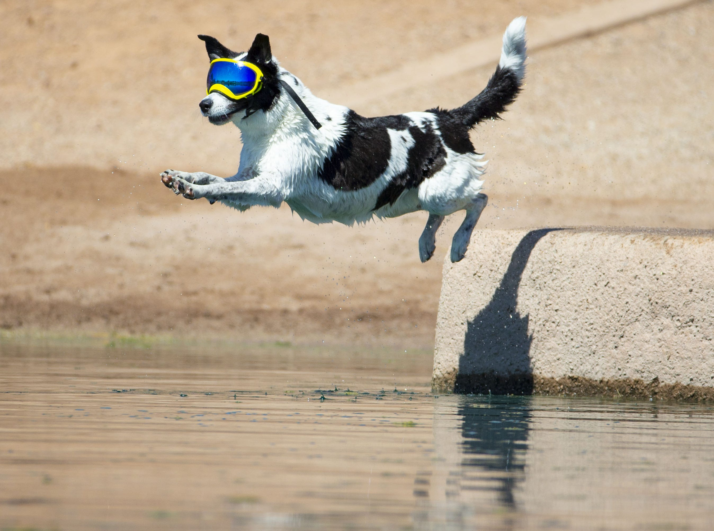 Mazy, of Chandler,  cools off in the lake at  Cosmo Dog Park in Gilbert on September 13, 2018.