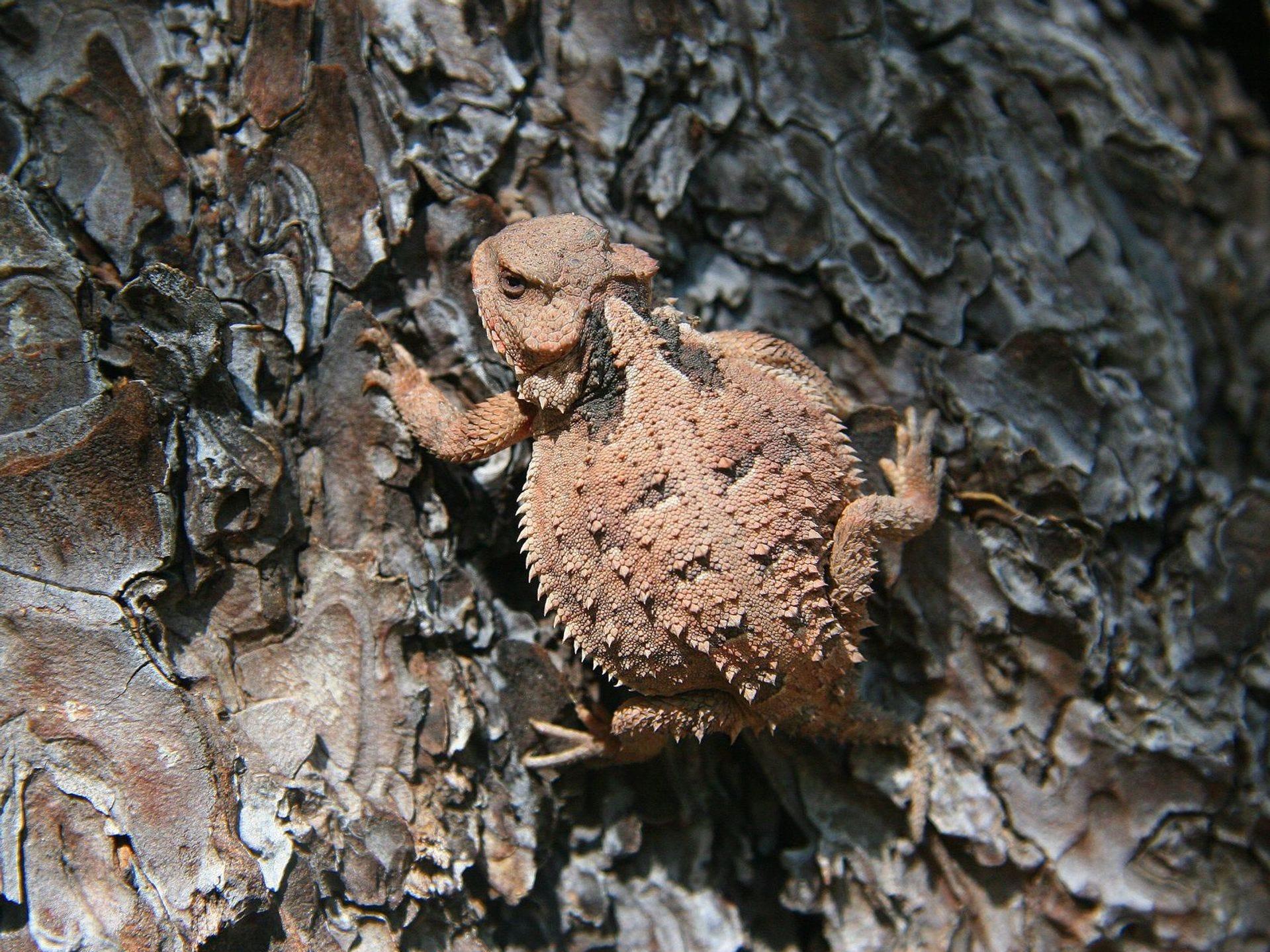 Esté atento a la vida silvestre grande y pequeña, como este lagarto cornudo, mientras camina por los senderos de North Rim.