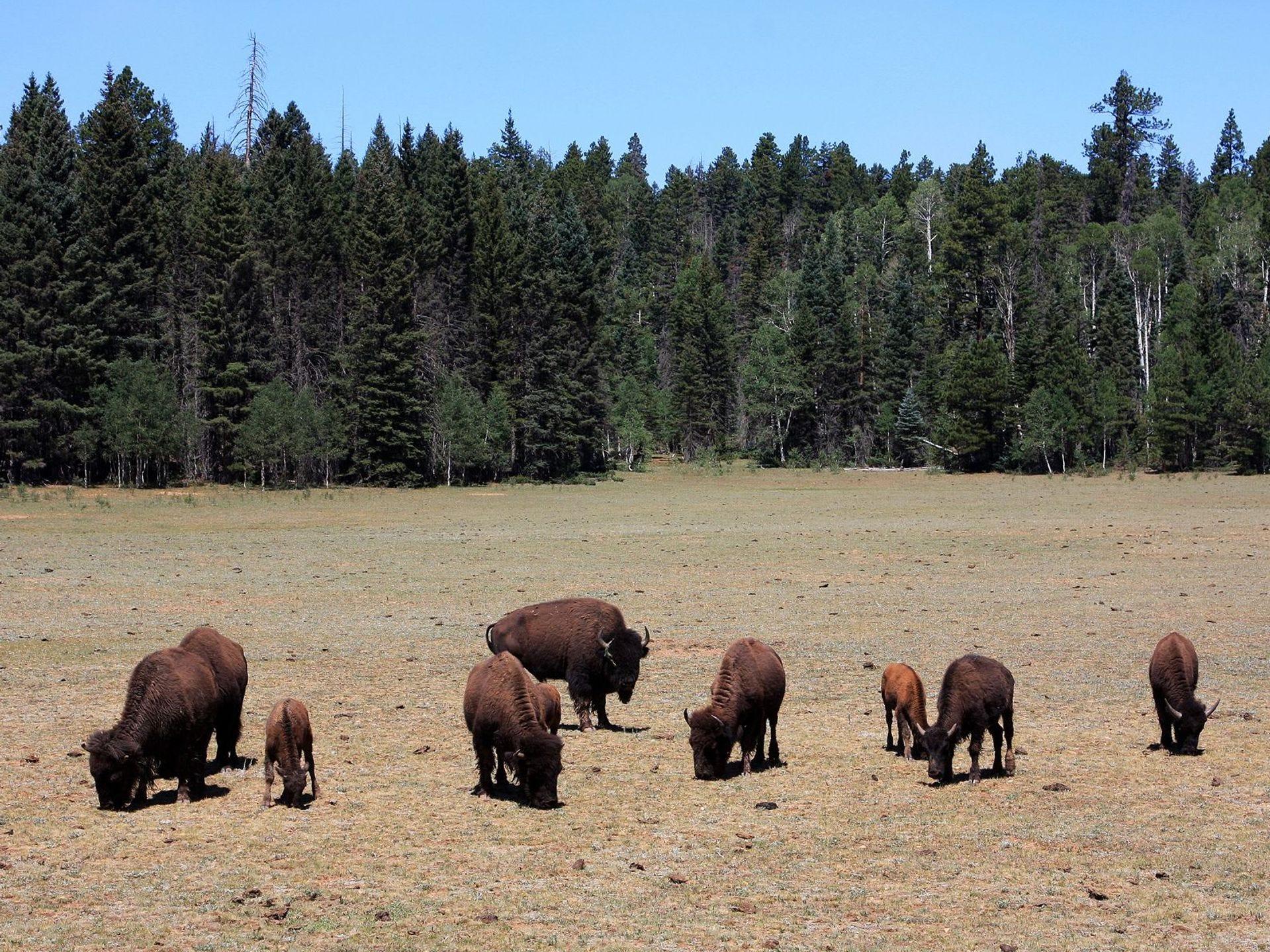 Los bisontes pastan en los prados que rodean la estación de entrada del Borde Norte.