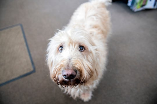 K.C., an 11-year-old Goldendoodle, hangs out in Make Believin' Costumes in York Township, greeting customers.