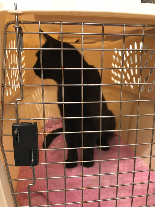 A cat with singed fur is trapped and cared for in foster care. He'll be picked up by his owner who is arranging for a new home after his house burned in the Carr Fire.