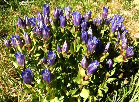 Gentians bloom in Jefferson Park.