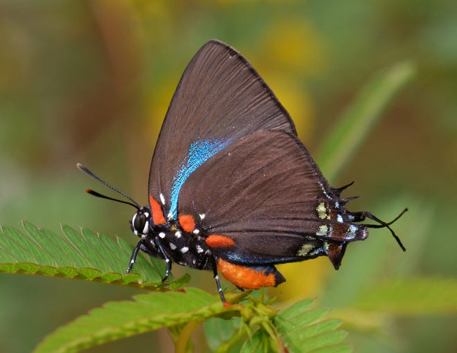 The Hairstreak Chapter adopted hairstreak butterflies as its symbol after seeing the Great Purple Hairstreak on one of its first field trips.