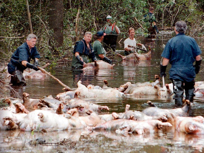 FILE - In this Sept. 24, 1999, file photo, employees of Murphy Family Farms along with friends and neighbors, float a group of dead pigs down a flooded road on Rabon Maready's farm near Beulaville, N.C. The hogs drowned from the floodwaters of the NE Cape Fear River after heavy rains from Hurricane Floyd flooded the area. The heavy rain expected from Hurricane Florence could flood hog manure pits, coal ash dumps and other industrial sites in North Carolina, creating a noxious witches' brew of waste that might wash into homes and threaten drinking water supplies.