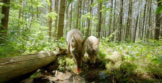 Backyard Wilderness Fps Coyote Pups Drink