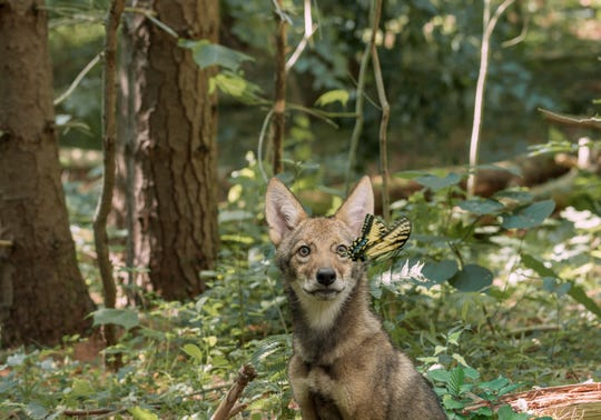 """A coyote encounters a butterfly in the IMAX documentary """"Backyard Wilderness."""""""