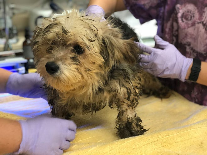 One of the dogs rescued from the Chico house receives treatment.