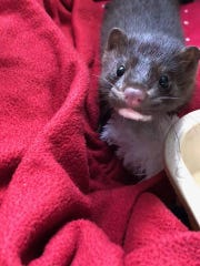 This orphaned infant American mink is one of more than 1,000animals Woodlands will care for in 2018.