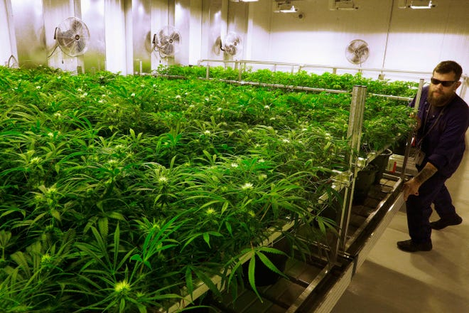 In this Sept. 15, 2015, file photo, lead grower Dave Wilson cares for marijuana plants at the Ataraxia medical marijuana cultivation center in Albion, Ill. Michigan regulators have significantly expanded the list of conditions approved for treatment by medical marijuana. The Department of Licensing and Regulatory Affairs on Monday, July 9, 2018, added 11 medical conditions deemed debilitating by the Michigan Medical Marihuana Act of 2008.