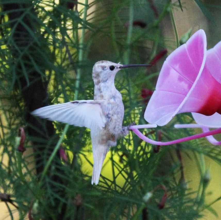 For the Birds: Evansville visited by albino migrants