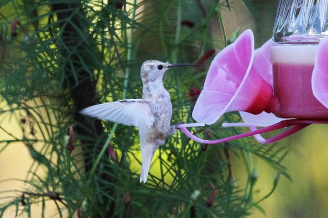 A white hummingbird made regular visits to an Evansville West Side feeder most of last week.
