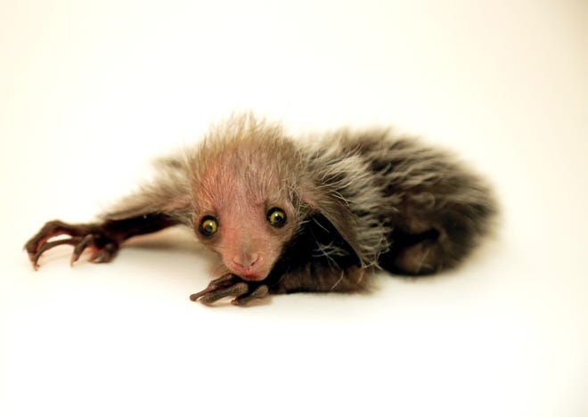 Baby aye-aye  Tonks was born at the Denver Zoo Aug. 8.