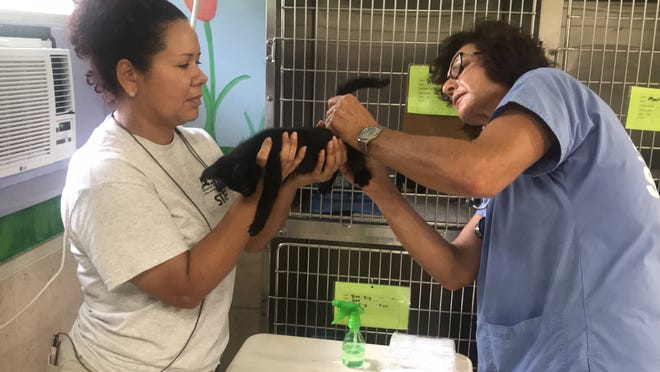 Vet tech Amanda Hosay is assisted by Rocio Ortiz in checking one of the 19 kittens that were brought to the Animal Refuge Center in North Fort Myers on Thursday from a rural shelter in Fairfield County, South Carolina, in advance of Hurricane Florence.