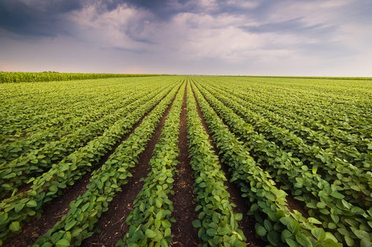 Agricultural Soy Plantation On Sunny Day Green Growing Soybeans Plant Against Sunlight